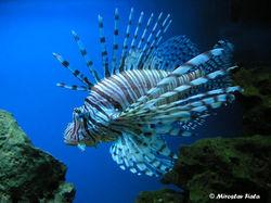 Lionfishmain.jpg