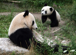 Pandas Ailuropoda melanoleuca Adult and Young.jpg