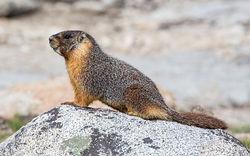 Yellow bellied marmot.jpg