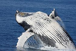 Hervey bay whales.jpg