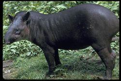 Main tapir.jpg