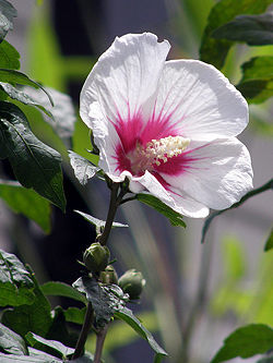 Rose Of Sharon Creationwiki The Encyclopedia Of Creation Science