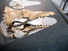800px-Rodhocetus skull.jpg