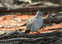 Pigeon.No5.jpg