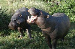 800px-Pygmy hippopotamus pair.jpg