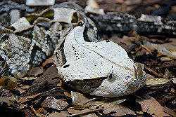 Gaboon viper.jpg