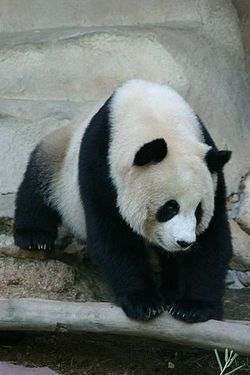 Panda Ailuropoda melanoleuca 1.jpg
