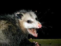 AmericanOpossum.jpg
