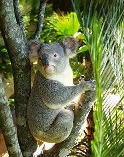 Koala .jpg