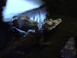 Dwarf Crocodiles6.jpg
