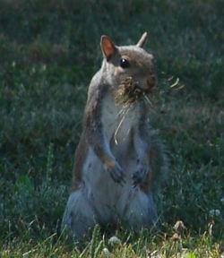 A grey squirrel (Sciurus caroliniensis)