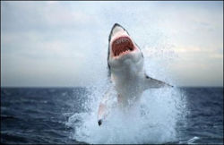 Great white.jpg