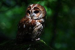 Tawny Owl - dark.jpg
