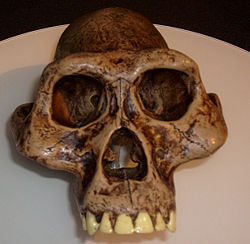 Australopithecus afarensis skull reconstruction.jpg
