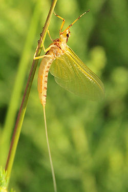 Mayfly unknown.jpg