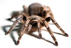 Tarantula6.jpg