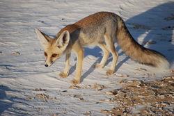 Ruppel's Fox.jpg