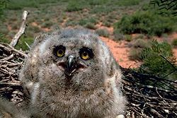 Great horned owl hatchling.jpg