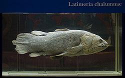 Latimeria Shirshov.jpg