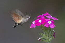 Humming bird moth.jpg