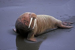 Atlantic walrus.jpg