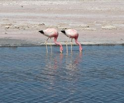 Andean flamingos.jpg