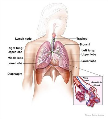 Human respiratory system 2.jpg