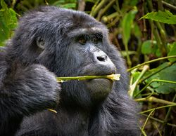 Mountain Gorilla, Uganda (30026677731).jpg