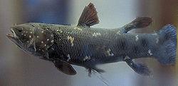 Coelacanth (Latimeria chalumnae).jpg
