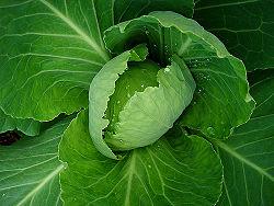 A Cabbage.jpg