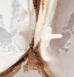 Ensis siliqua123.jpg