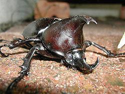 Rhinoceros Beetle 23.jpg