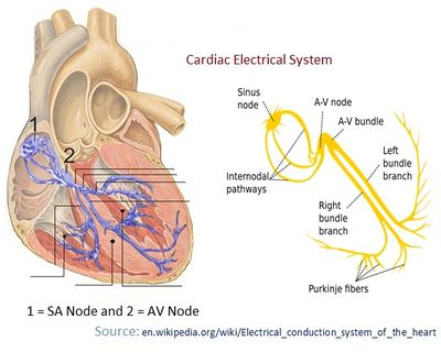 Hearts electrical system creationwiki the encyclopedia of hearts electrical system creationwiki the encyclopedia of creation science ccuart Images