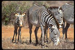 Grevy's Zebra Equus grevyi.jpg