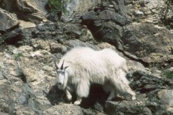 MountaingoatatMountRushmore.jpg