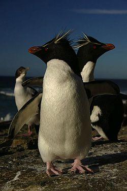 Rockhopper Pepnguins on the Falkland Islands.jpg