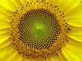 Sunflower fibonacci sequence.jpg