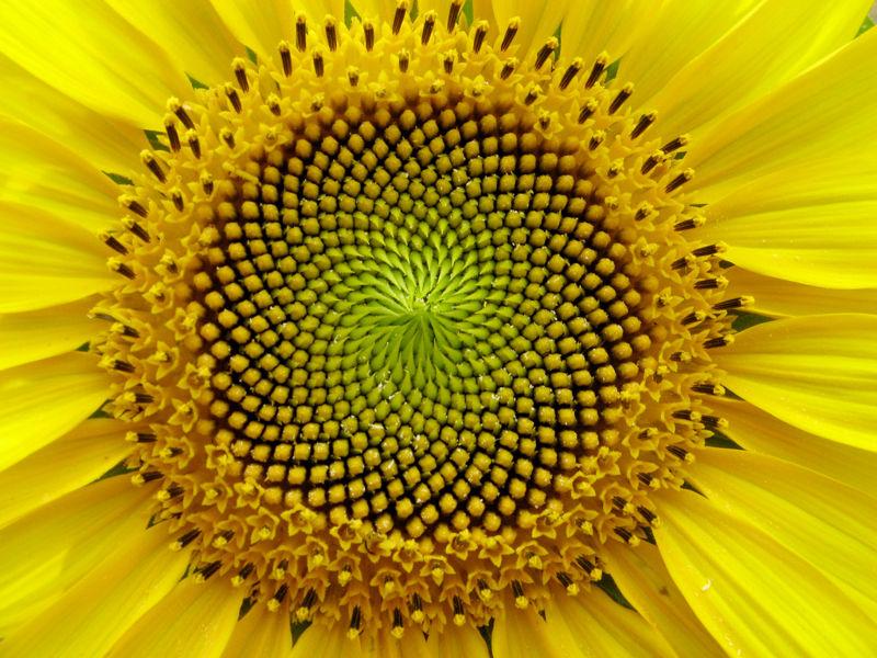File:Sunflower fibonacci sequence.jpg