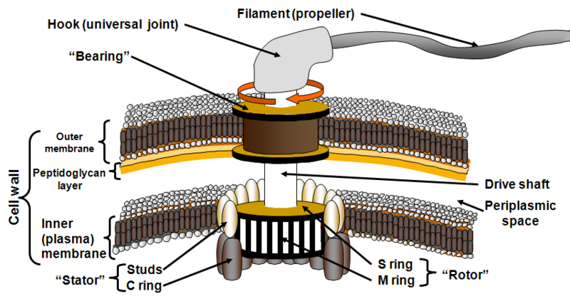 File:Bacterial flagellum diagram.png