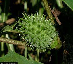 Jimsonweed flower before it blooms.jpg