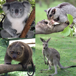 Marsupialiacollage.png