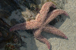 Asterias rubens (Common starfish).jpg