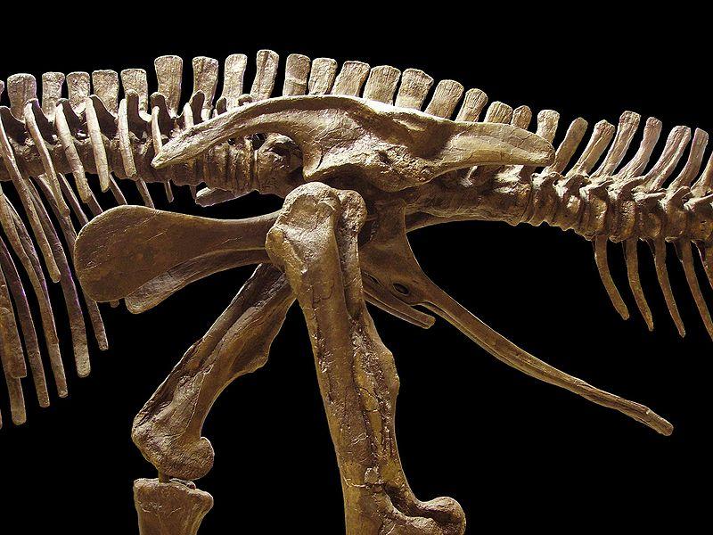 File:Edmontosaurus pelvis.jpg