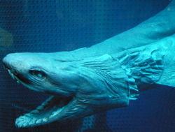 frilled shark face jpg