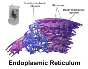 Endoplasmicreticulum.png