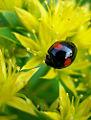 Black ladybug.jpg