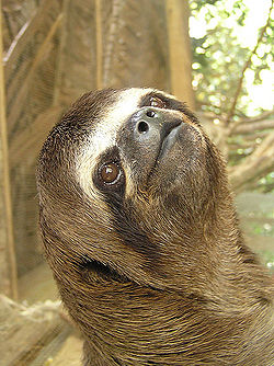 Three-toed sloth.jpg
