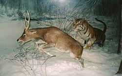 Tiger chasing a deer.jpg