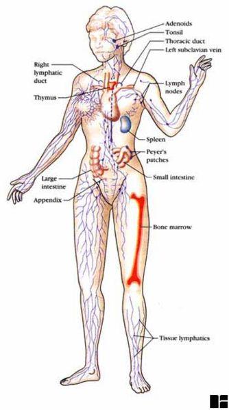 File:Immune system organs.jpg