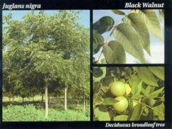 Black Walnut.JPG